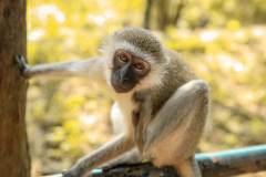 Fotoserie Kenia Affenportrait