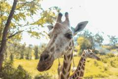 Fotoserie Kenia Giraffe
