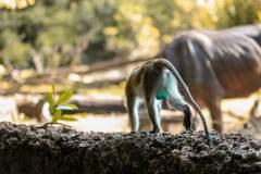 Fotoserie Kenia Affe blue balls