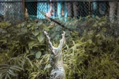 Fotoserie Kenia Krokodil am Fressen