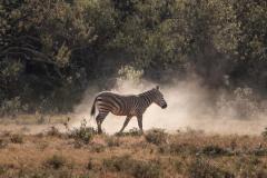 Fotoserie Kenia Zebra im Staub