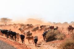 Fotoserie Kenia Rinderherde