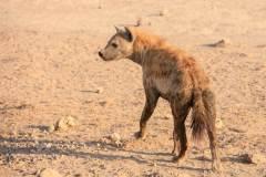 Fotoserie Kenia Hyäne