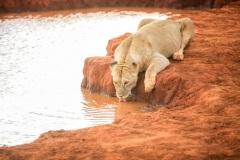Fotoserie Kenia auf Safari mit dem Löwen