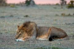 Fotoserie Kenia Löwe im Sonnenuntergang
