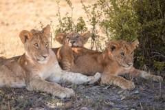 Fotoserie Kenia Löwenkinder