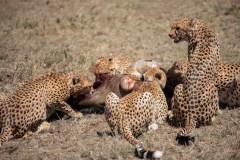 Fotoserie Kenia Gepards beim Essen