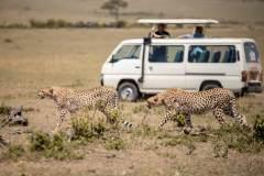 Fotoserie Kenia Geparde vorm Safariauto