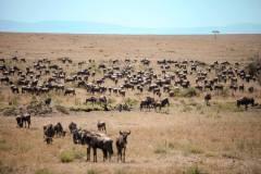 Fotoserie Kenia  Gnuwandernung Masai Mara