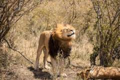 Fotoserie Kenia Löwe schüttelt sich