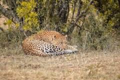 Fotoserie Kenia Leopard