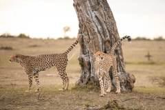 Fotoserie Kenia Gepard pinkelt an den Baum