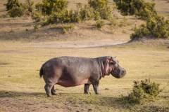 Fotoserie Kenia Nilpferd an Land